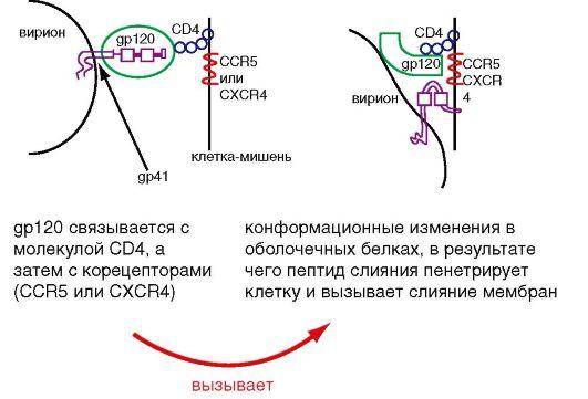 культивирование коронавирусов