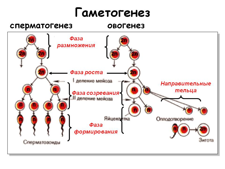 otlichie-spermatogeneza-i-ovogeneza